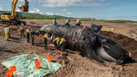 Seis muertes recientes acercan a estas ballenas a la extinción