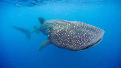 Las bombas atómicas de la Guerra Fría revelan que los tiburones ballena pueden vivir hasta un ...