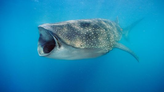 Los tiburones ballena no son solo carnívoros: también comen plantas