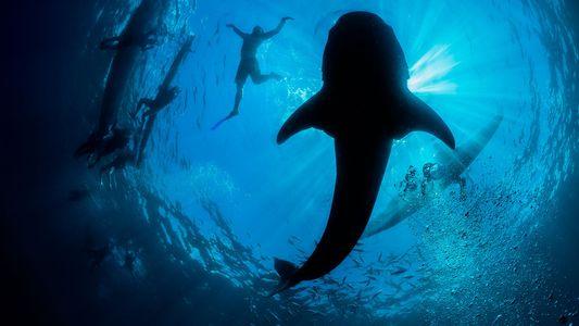 El caótico mundo del turismo para ver tiburones ballena