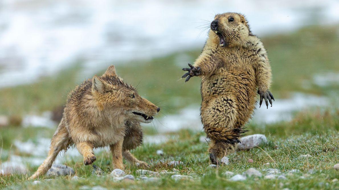 Marmota y zorro