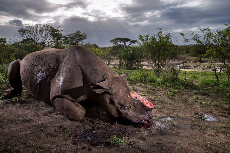 Los cazadores furtivos mataron a este rinoceronte negro por su cuerno con balas de gran calibre …