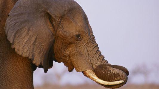 Las subastas legales de piel de elefante están en auge en Zimbabue