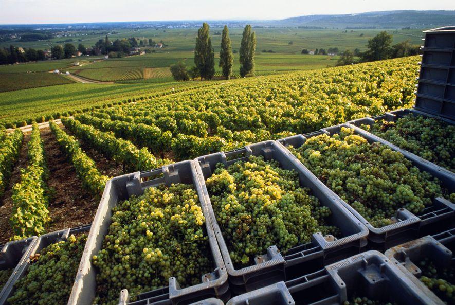 En Borgoña, las uvas chardonnay se cosechan varias semanas antes que hace unas décadas.