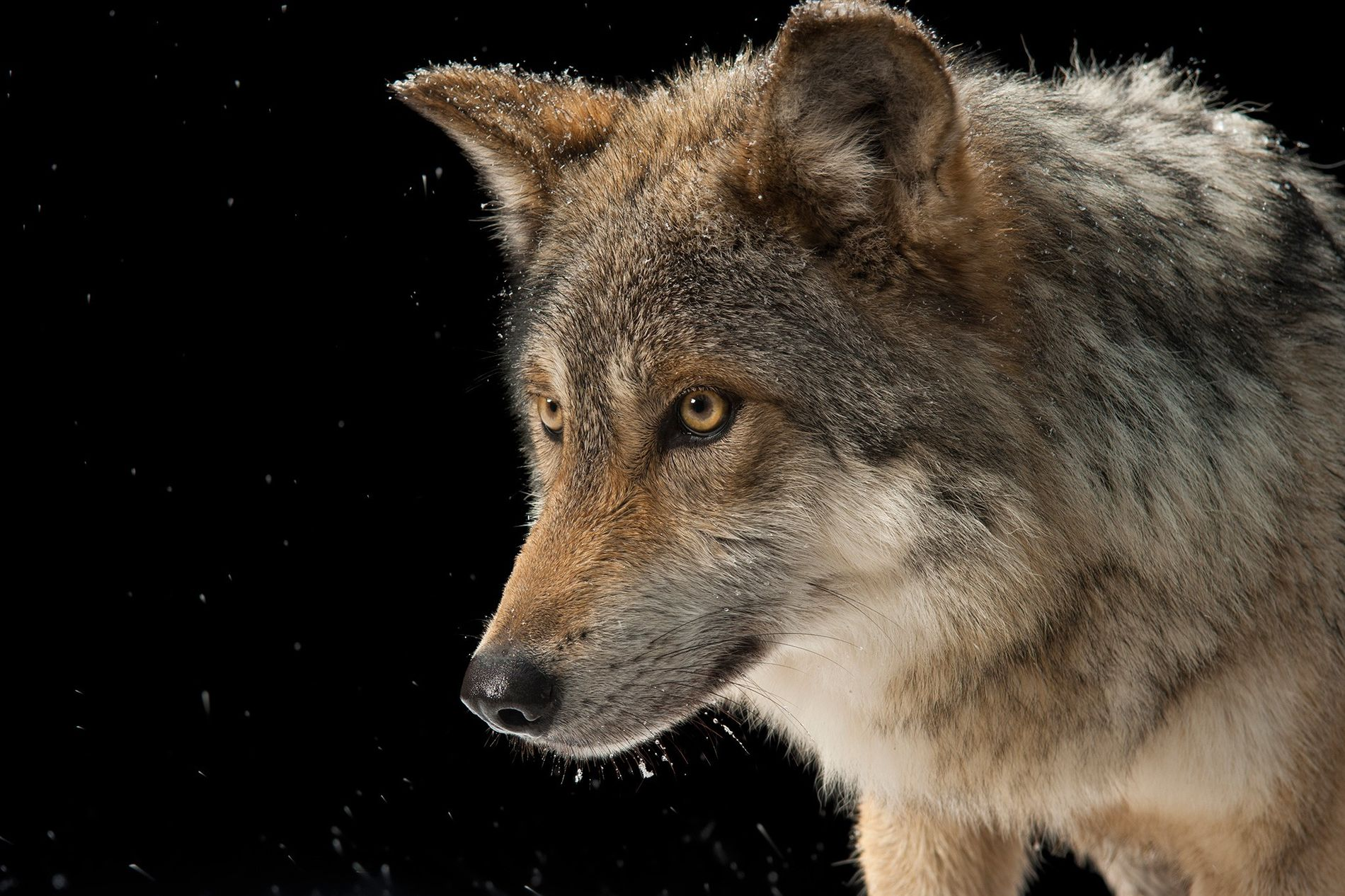 Lobo mexicano