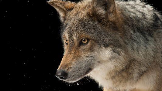 Estos lobos son especies únicas y es fundamental protegerlos