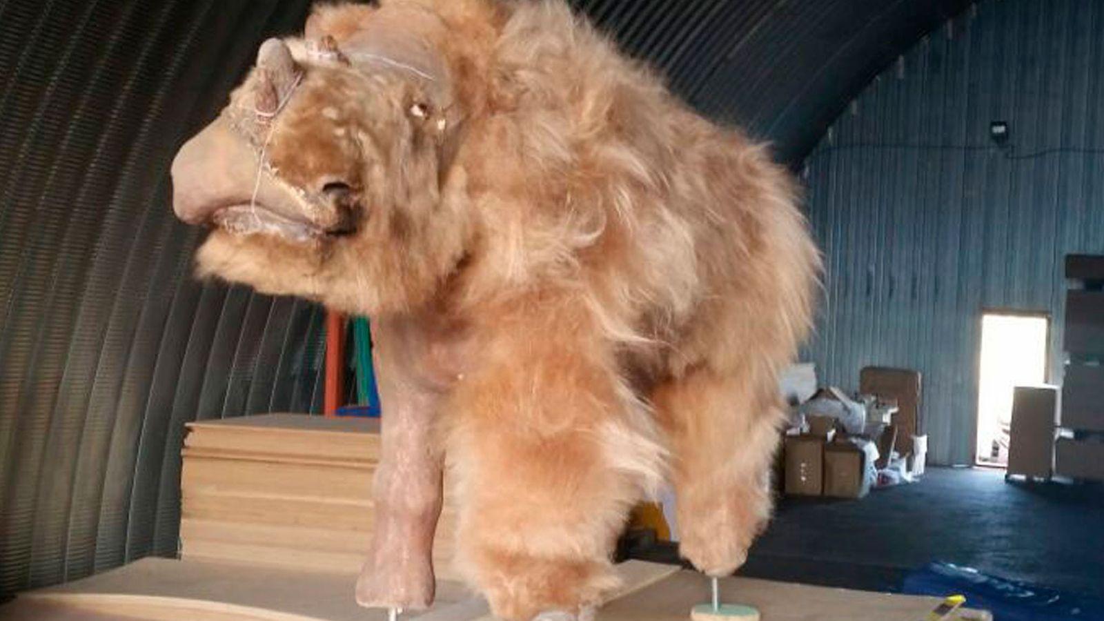 Sasha, el rinoceronte lanudo