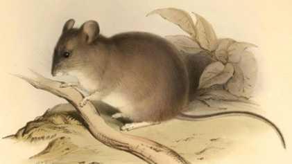 Este ratón de montaña es el mamífero que vive a mayor altitud