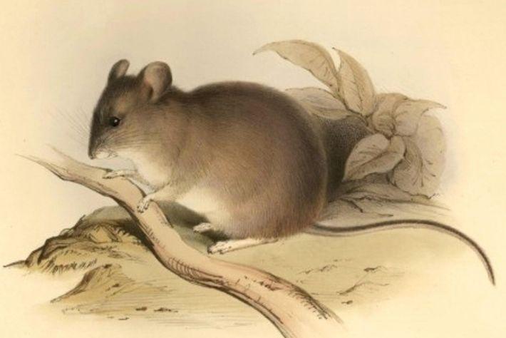 Ratón orejudo amarillento