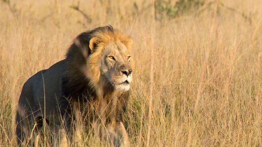 Xanda, el hijo del león Cecil, muere a manos de un cazador de trofeos