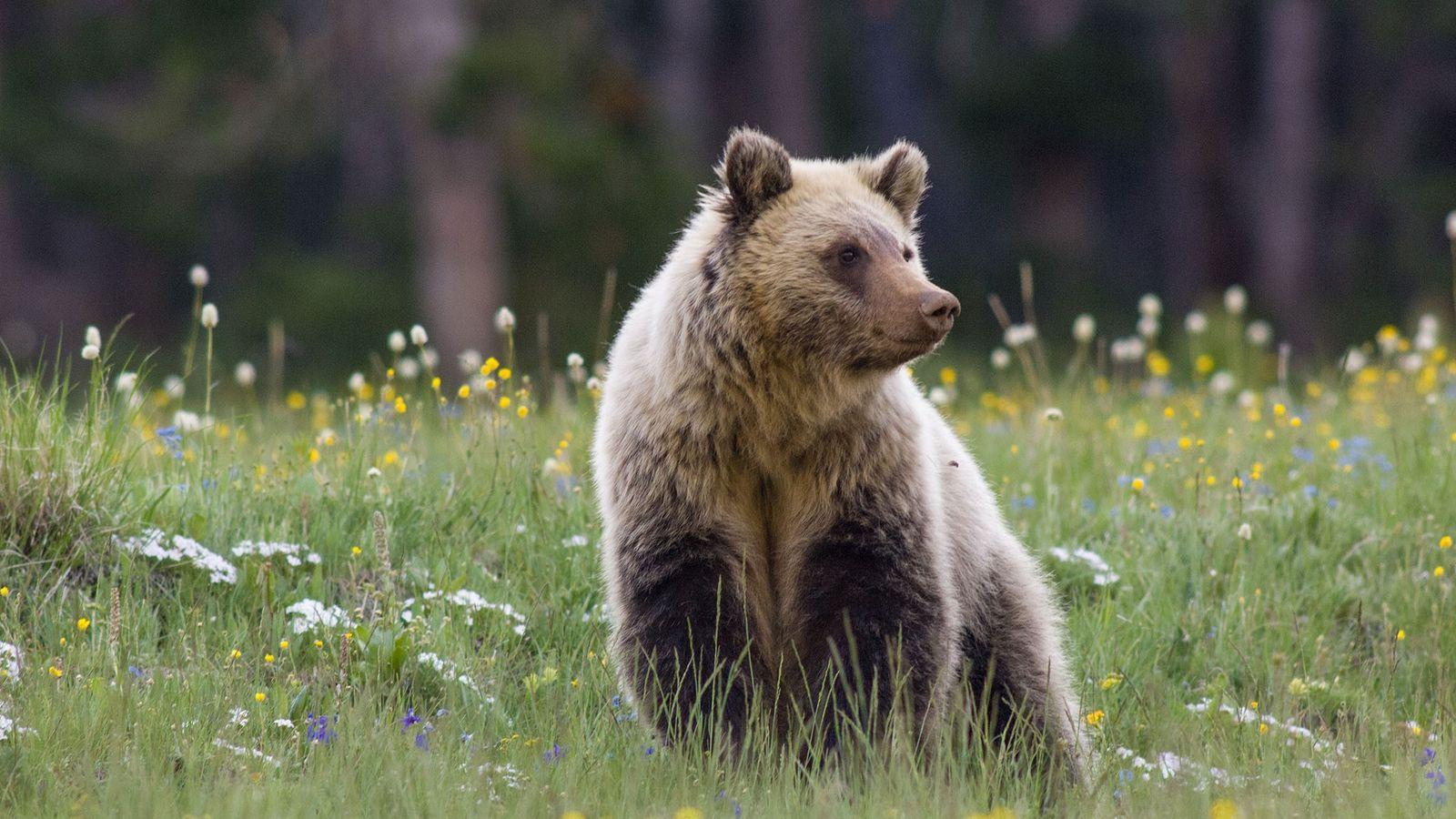 Un oso grizzly
