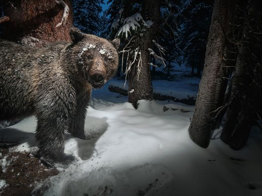 La extraña dieta de los osos grizzly: de uapitíes a polillas