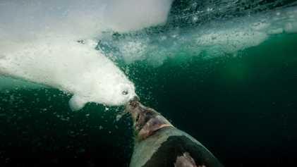 Las focas de Groenlandia (2)