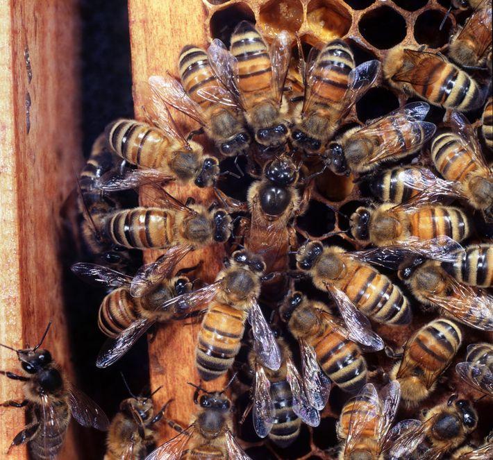 Las abejas obreras rodean a una abeja reina