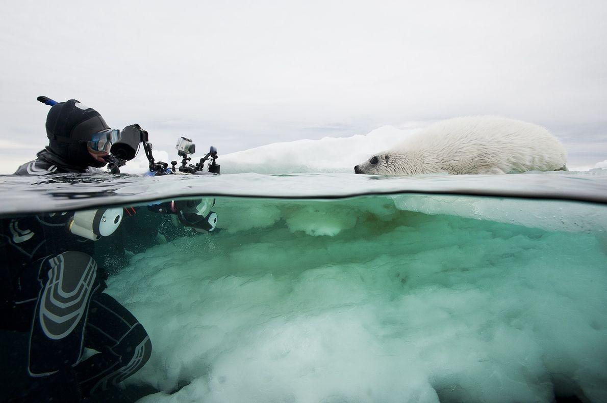 Foca de Groenlandia