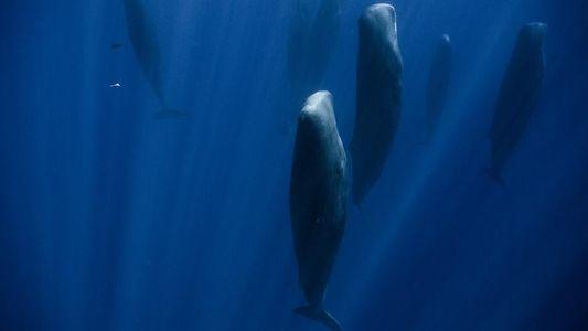 ¿Adivinas por qué están estos cachalotes en posición vertical?