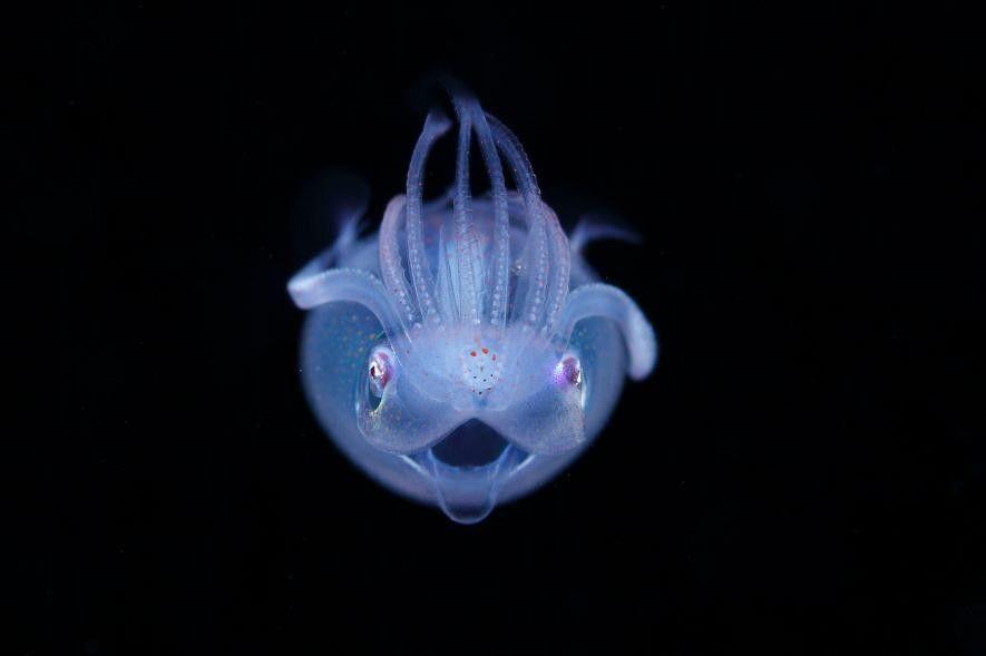 Una paralarva de Thysanoteuthis rhombus, un tipo de calamar. «Está posando de forma inusual, alzando sus ...