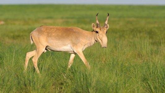 Los saigas se enfrentan a una doble amenaza: las enfermedades y la caza furtiva