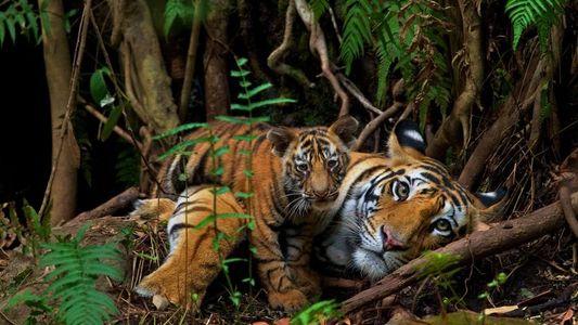 Celebramos el Día Mundial del Tigre con nuestras fotos favoritas de estos felinos