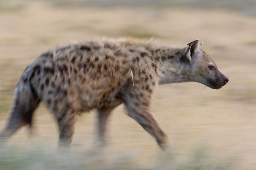 Una hiena manchada (Crocuta crocuta) cerca del lago Ndutu, en el Ndutu Safari Lodge. El área …