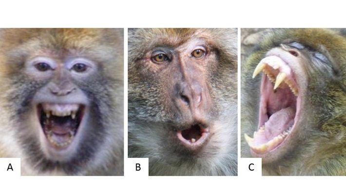 ¿Puedes saber qué siente un mono según su expresión facial?