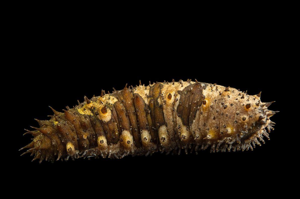 Un pepino de mar (Holothuroidea) en el Loveland Living Planet Aquarium.
