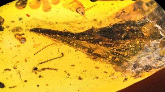 Hallan en ámbar un fósil de dinosaurio más pequeño que un colibrí
