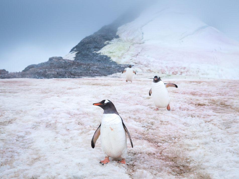 Estas algas tiñen de rosa la nieve polar y aceleran el deshielo