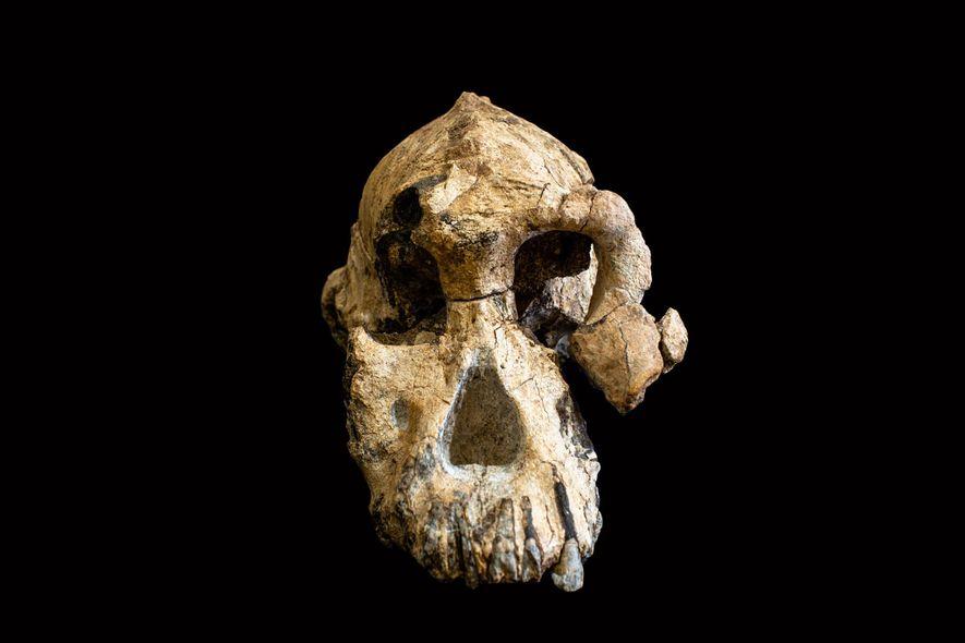 Este cráneo, antes llamado MRD-VP-1/1, pertenece a un ancestro humano primitivo llamado Australopithecus anamensis.