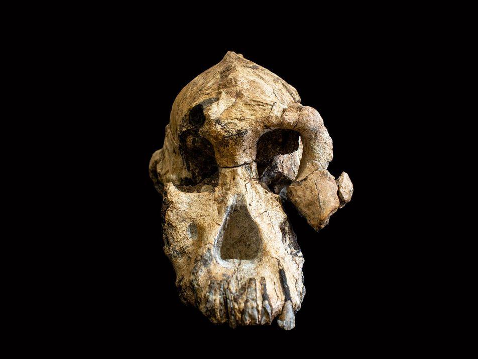 Un cráneo «sin precedentes» revela el rostro del Australopithecus anamensis