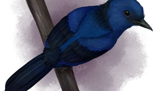 Hallan las primeras plumas azules en un ave fosilizada