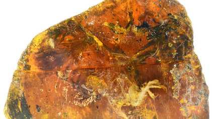 Descubierta fosilizada en ámbar una cría de ave de 99 millones de años de antigüedad