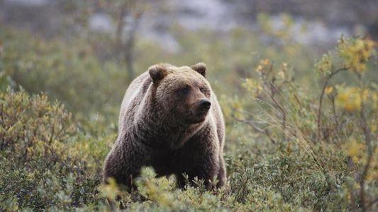 Hallan ADN de oso cavernario extinto en osos pardos vivos