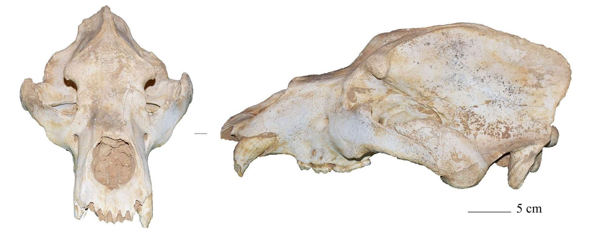 Un cráneo de oso cavernario hallado en Italia, uno de los últimos restos de este animal prehistórico. Los científicos han debatido durante años si el inicio del último máximo glacial provocó la extinción de esta enorme especie. Pero el análisis del ADN de los osos cavernarios sugiere que es más probable que la llegada de los humanos modernos a Europa desempeñara un papel fundamental en su desaparición.