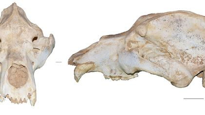 Un análisis de ADN sugiere que los humanos condenaron al oso cavernario a la extinción