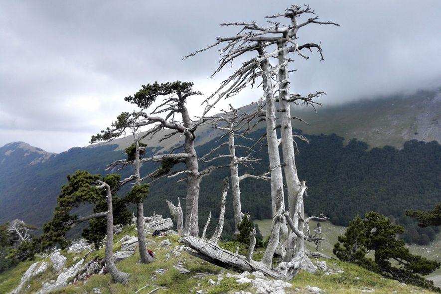 Varios pinos de los Balcanes viejos o muertos en una montaña del parque nacional de Pollino, …