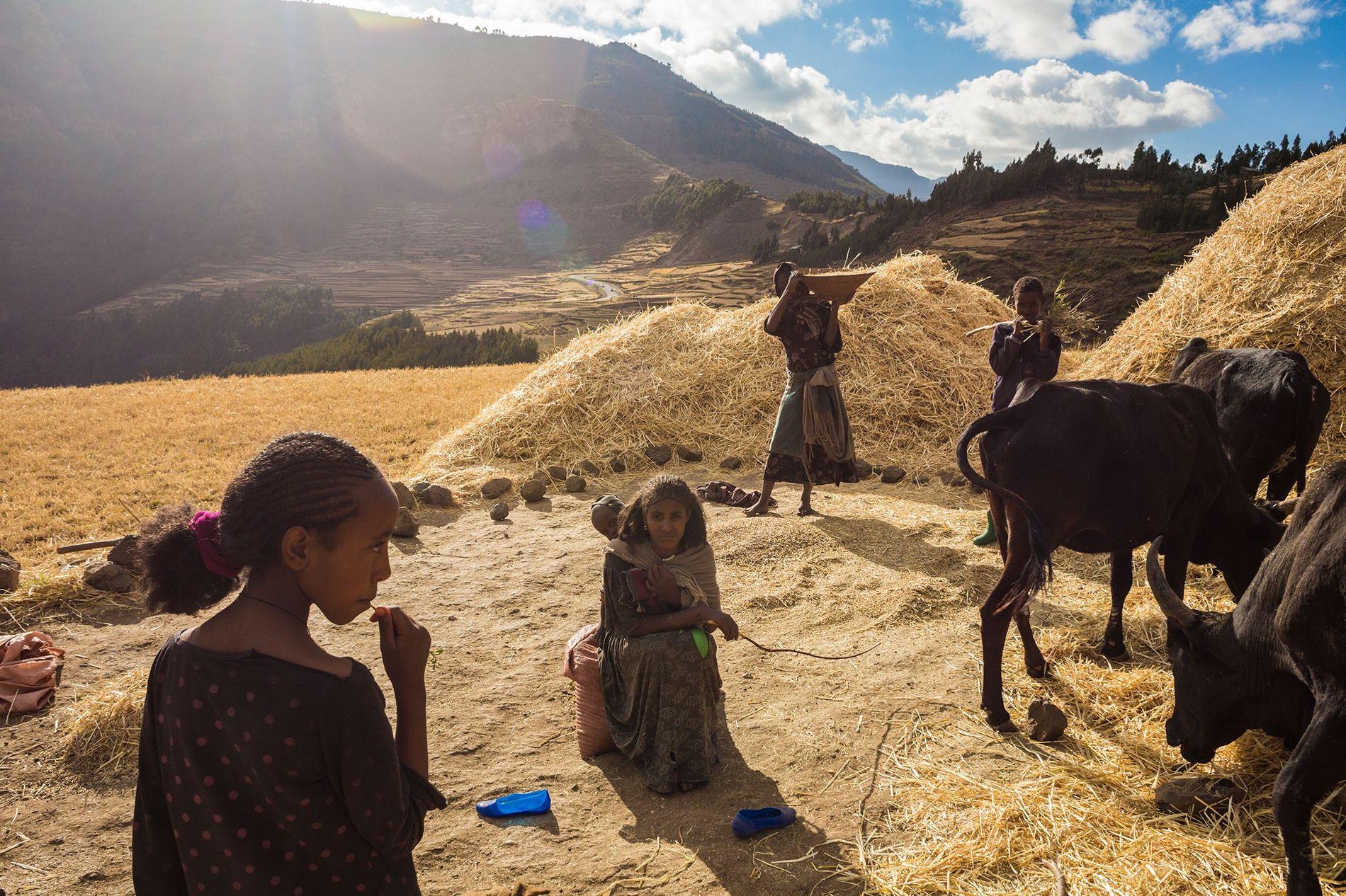 Usando herramientas manuales y animales de tiro, una familia cultiva trigo en las tierras altas de Etiopía, propensas a la hambruna.