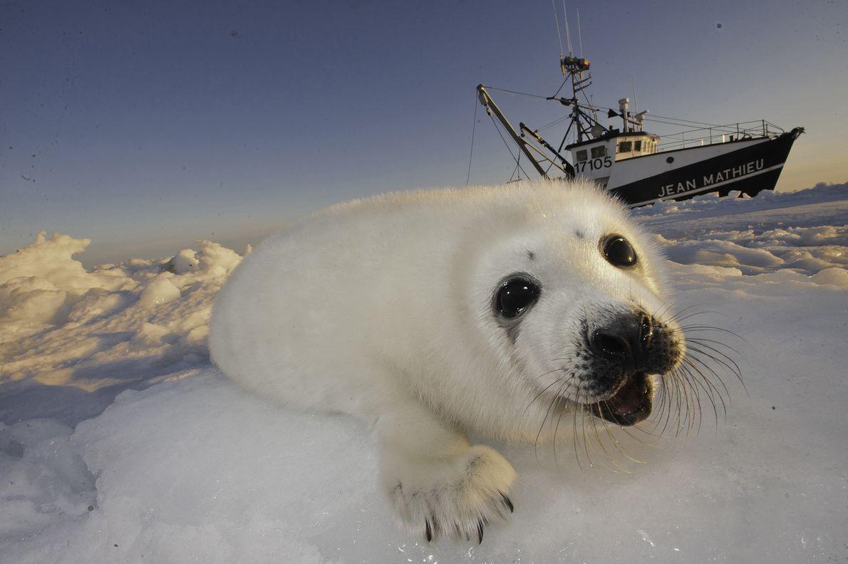 Cría de foca arpa