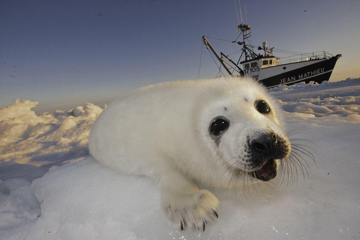 Una cría de foca arpa sube al hielo en el golfo de San Lorenzo. Canadá permitió …