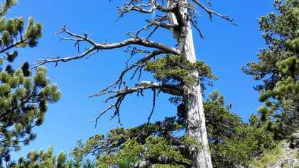 El árbol más antiguo de Europa: un pino de los Balcanes de 1.230 años