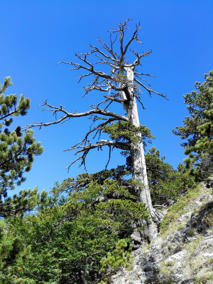 Los científicos determinaron la edad de este pino de los Balcanes de 1.230, apodado Italus, usando una novedosa combinación de dendrocronología y datación por radiocarbono.