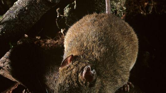 Reconocen la extinción de la primera especie de mamífero por el cambio climático