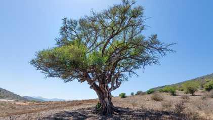 Este árbol está invadiendo África: ¿podrán detenerlo?