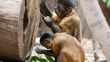 Estos monos llevan 3000 años en su propia «Edad de Piedra»