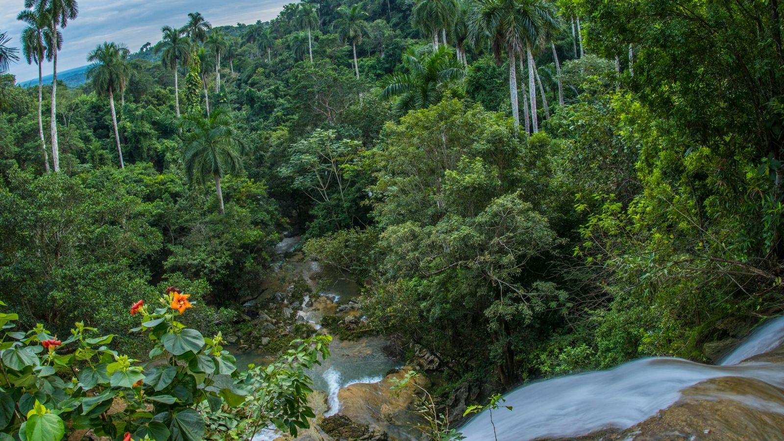 Fotografía de un bosque de palmas reales en Cuba