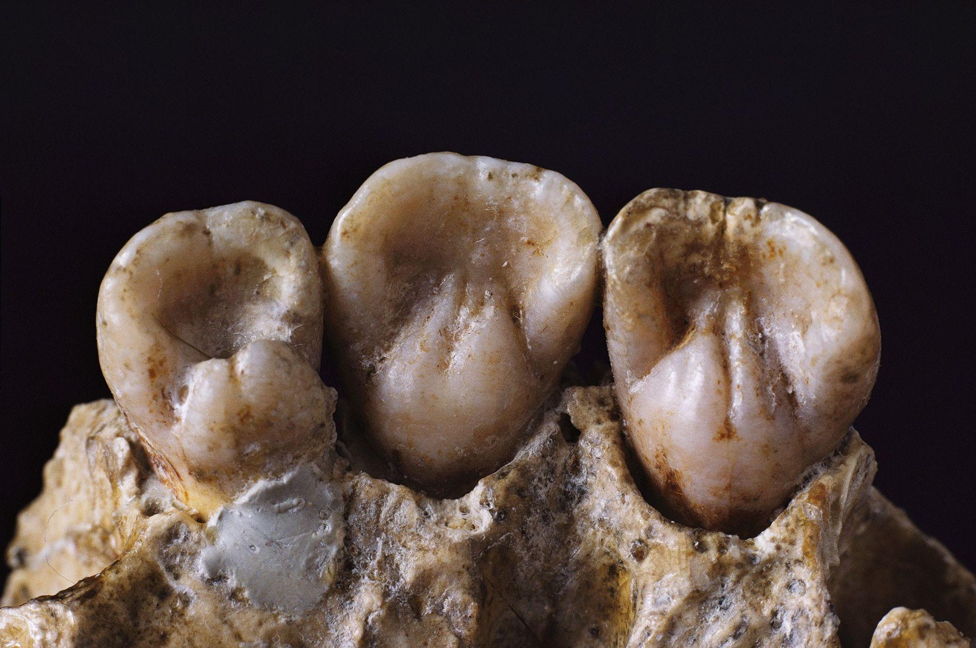 Dientes de neandertal
