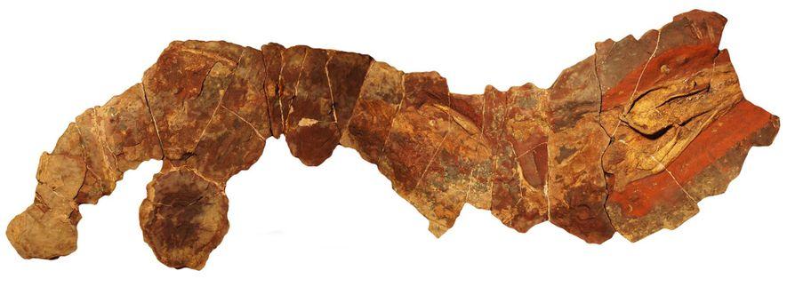 Este fósil del antiguo género de tiburones Phoebodus se descubrió en Marruecos.