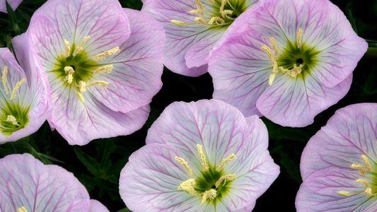 Las flores escuchan el zumbido de las abejas, lo que hace que su néctar sea más ...