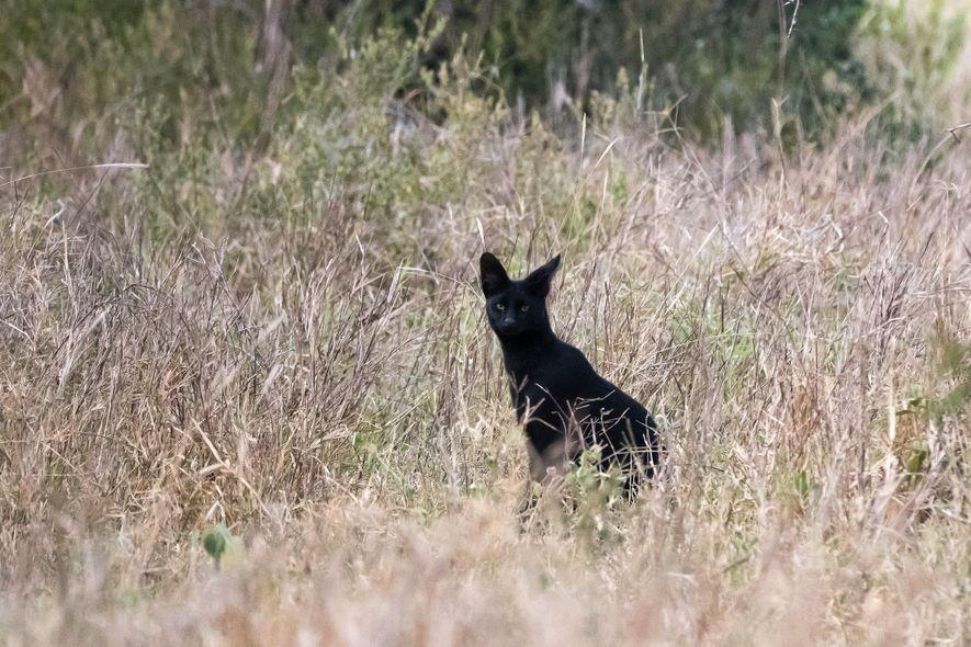 Un serval –una especie de pequeño felino– con melanismo en Tsavo, Kenia, una imagen increíblemente inusual.