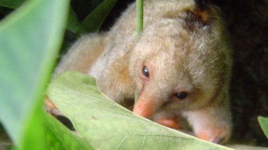 Descubiertas seis nuevas especies diminutas de oso hormiguero pigmeo